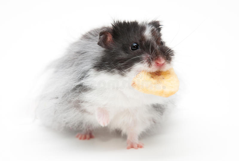 Hamster. A hamster isolated on a white background royalty free stock image