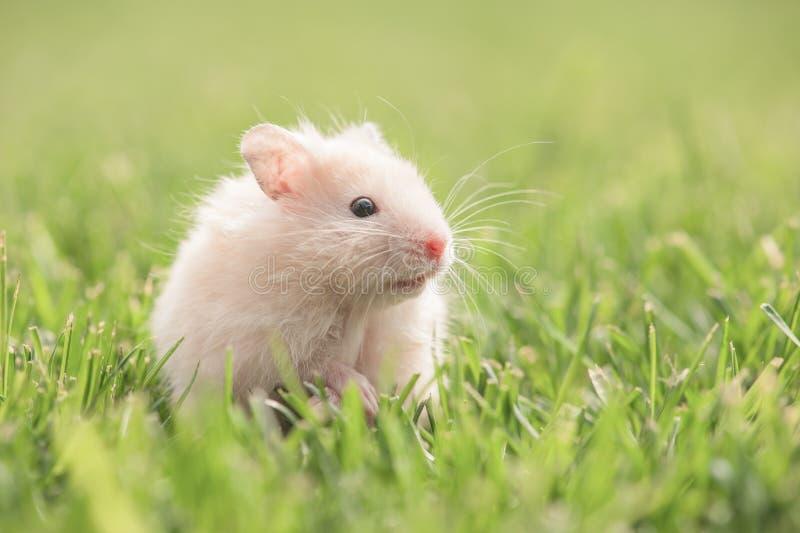 Hamster photos stock