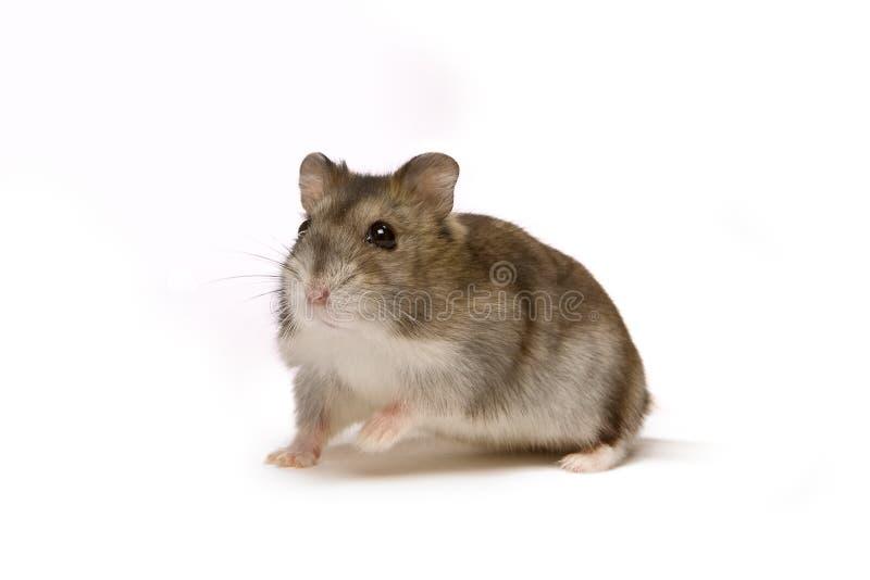 Download Hamster stock image. Image of humor, pets, animal, domestic - 5793075
