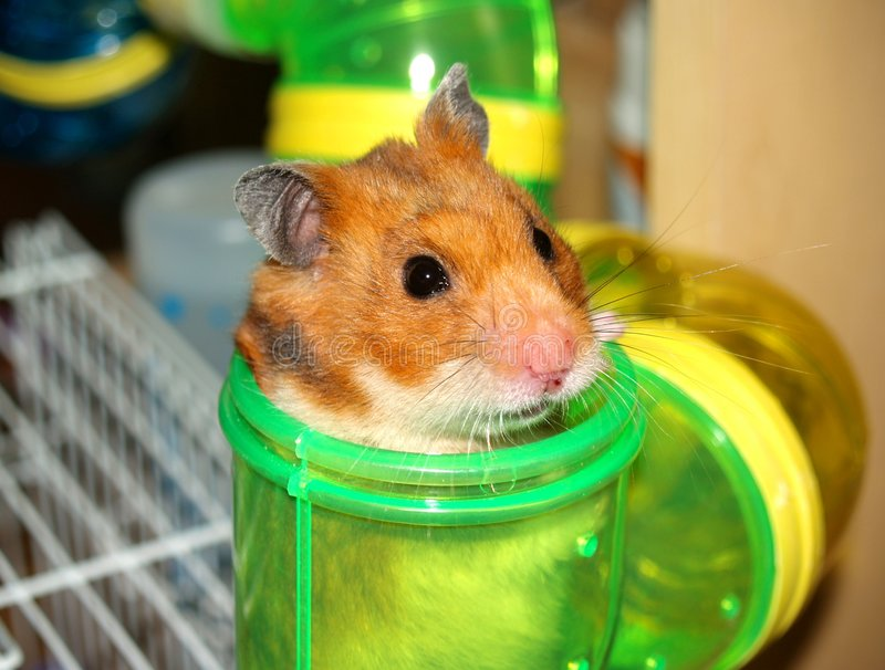 hamster images stock