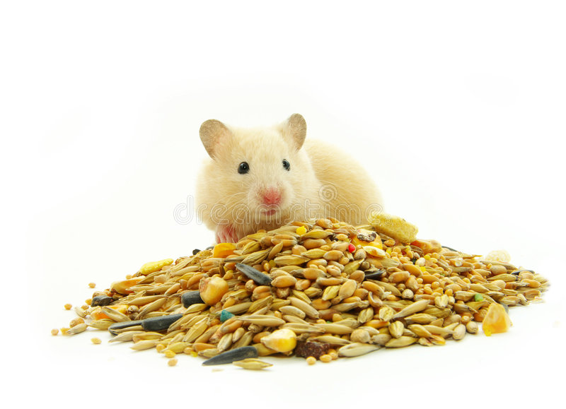 Hamster. In front of a white background royalty free stock photos