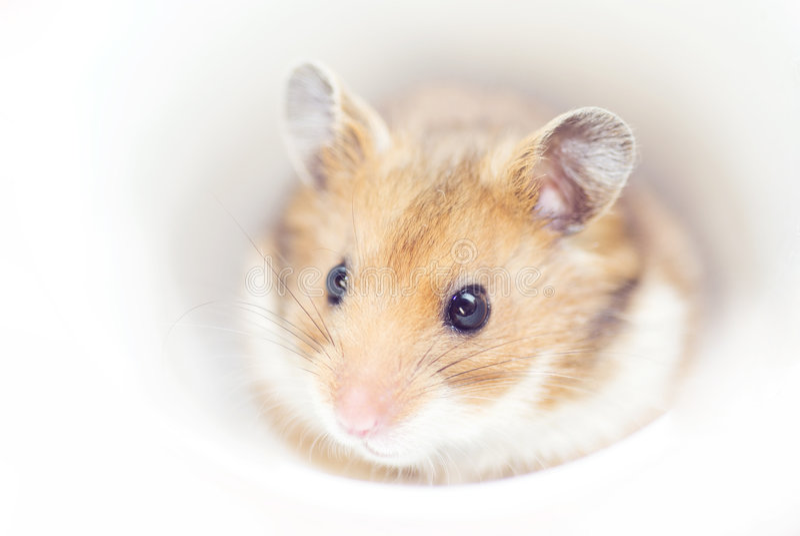 Hamster image libre de droits