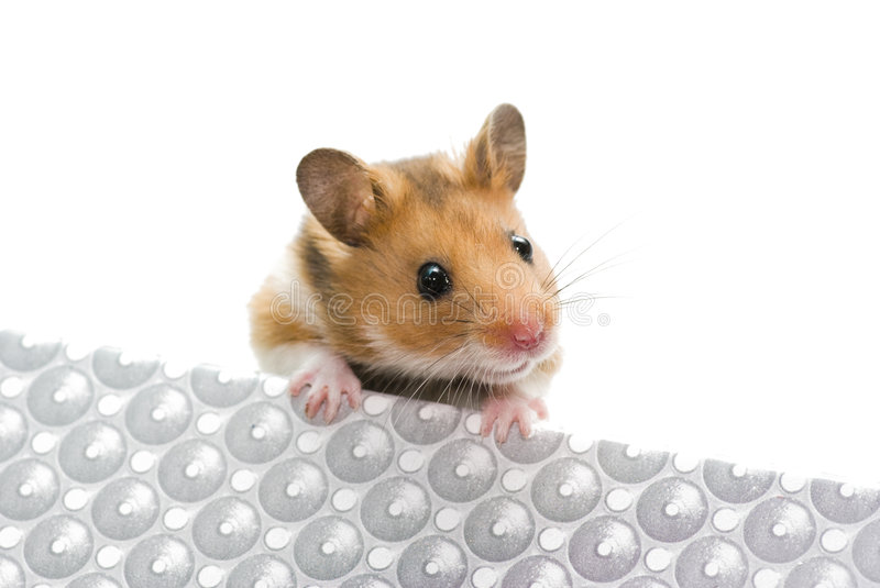 Hamster. The shot of curious hamster on the white stock image