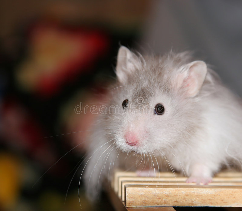 Hamster photographie stock