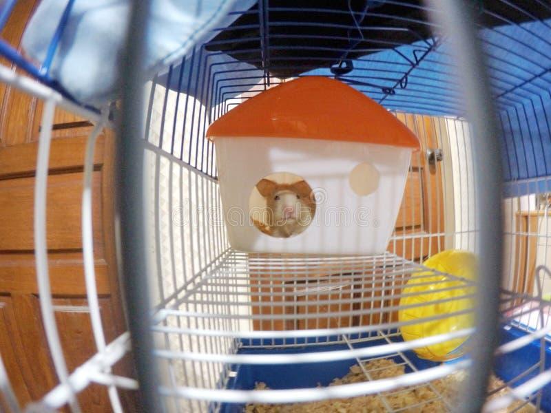 Hamster royalty-vrije stock afbeeldingen