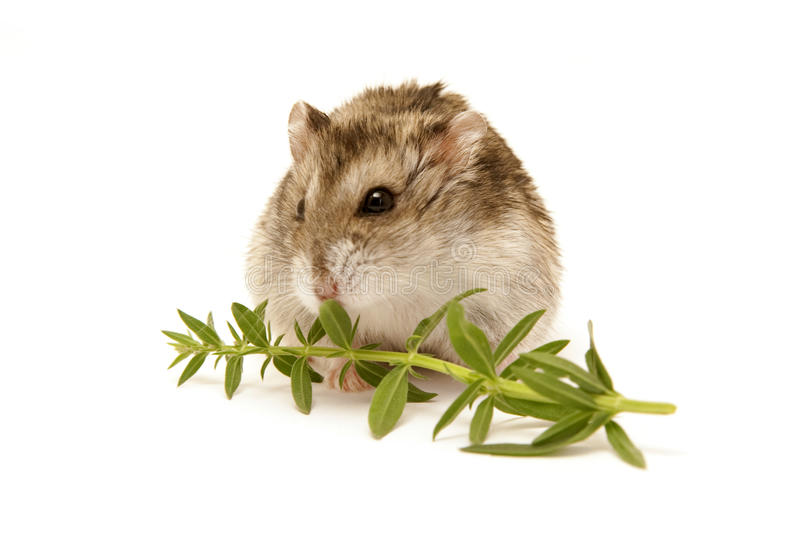 Hamster image stock
