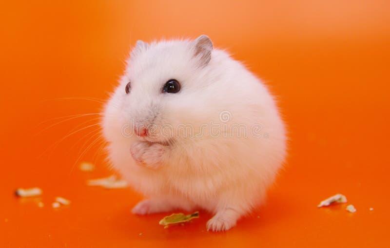 hamster photo stock