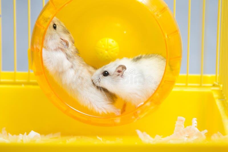 Hamster actif fonctionnant sur une roue photographie stock libre de droits