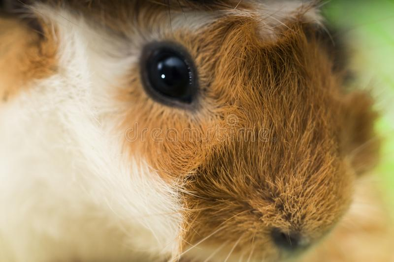 Hamster Animaux et volaille photo stock