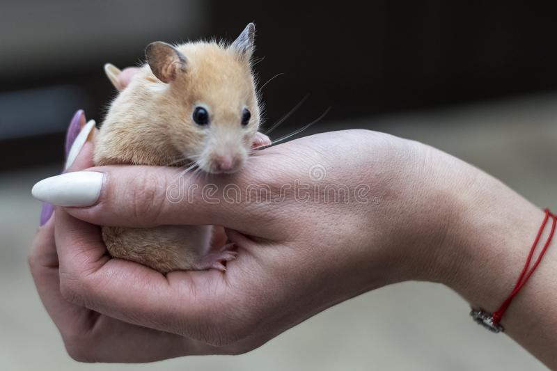 Hamster in the arms of an adult girl royalty free stock images