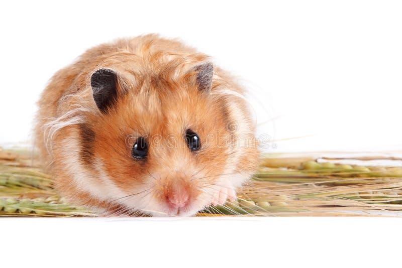 Hamster avec la nourriture photographie stock libre de droits