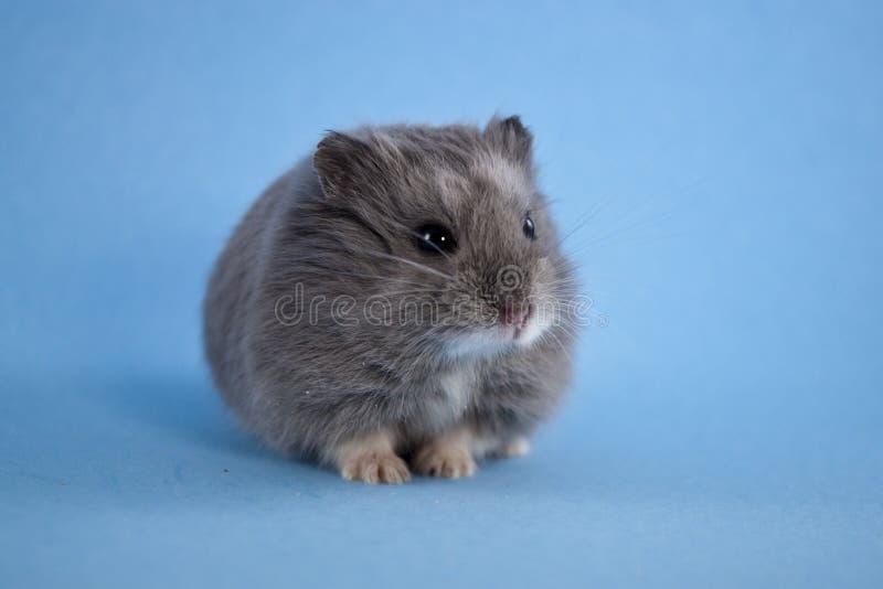 Hamster azul do anão fotos de stock royalty free