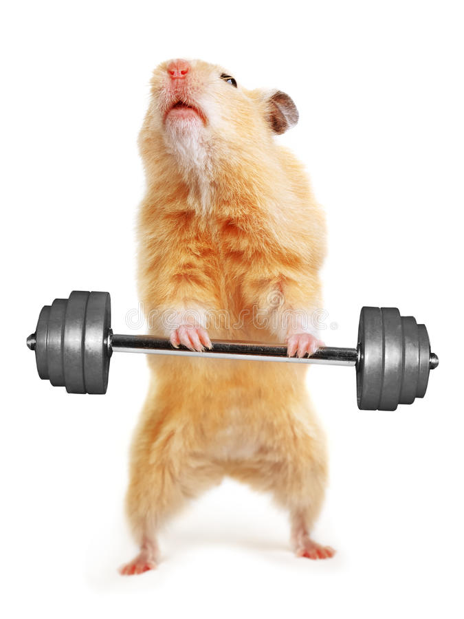 Download Hamster with bar stock photo. Image of barbell, closeup - 22804252