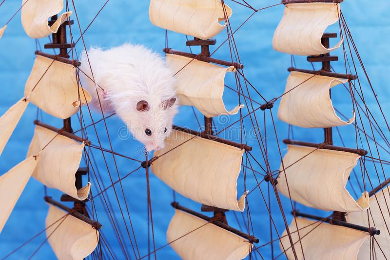 Hamster blanc photos libres de droits