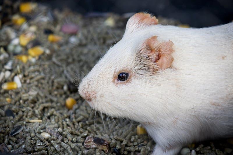 Hamster blanc image libre de droits