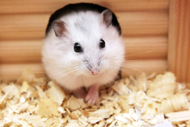 Hamster blanc images stock