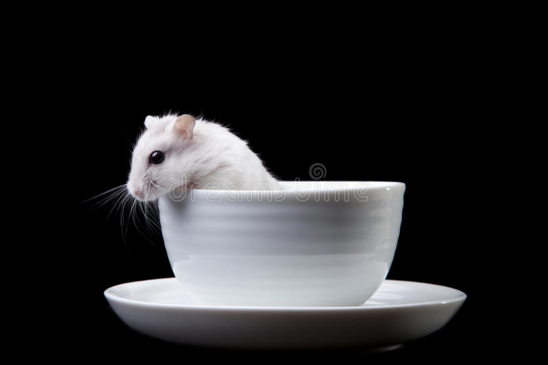 Hamster blanc dans la cuvette sur le noir photographie stock