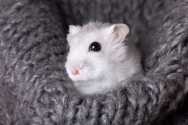 Hamster blanc se reposant dans une écharpe tricotée grise photo libre de droits
