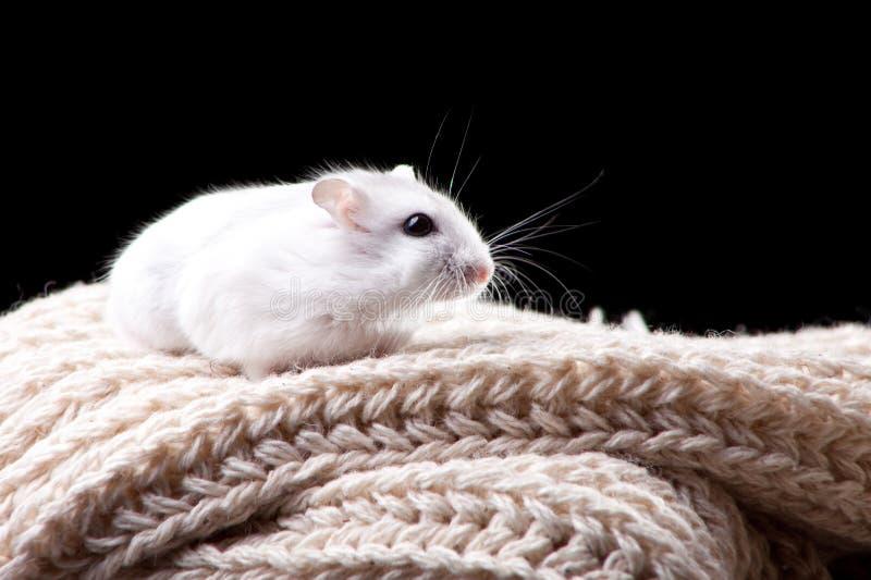 Hamster blanc se reposant sur l'écharpe tricotée photos stock