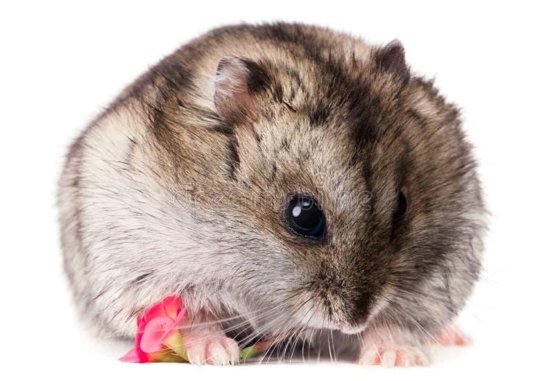 Hamster bonito do bebê que guarda uma flor vermelha foto de stock royalty free