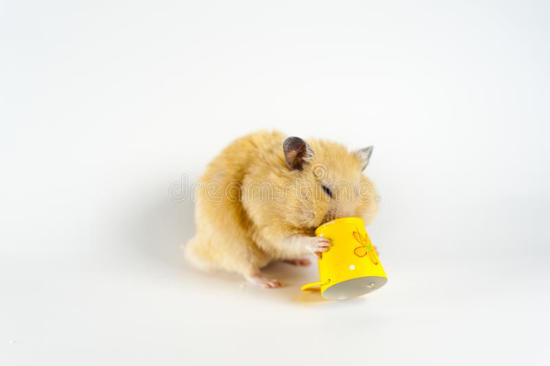 Hamster bonito que come o girassol da cubeta no fundo branco imagens de stock