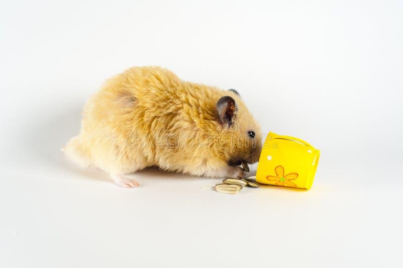 Hamster bonito que come o girassol da cubeta no fundo branco imagem de stock