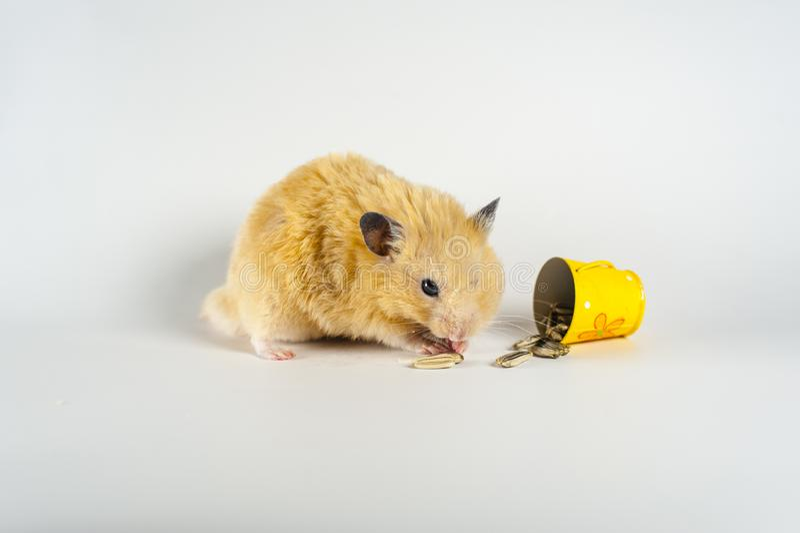 Hamster bonito que come o girassol da cubeta no fundo branco foto de stock royalty free