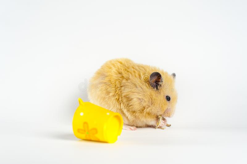 Hamster bonito que come o girassol da cubeta no fundo branco fotografia de stock