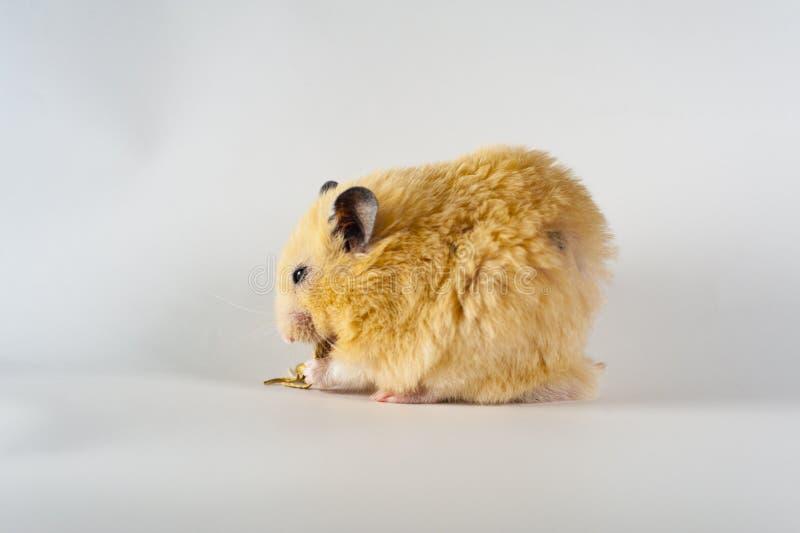 Hamster bonito que come o girassol no fundo branco fotos de stock royalty free