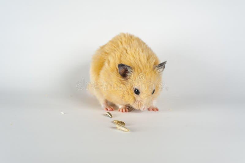 Hamster bonito que come o girassol no fundo branco fotos de stock
