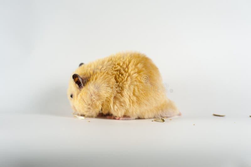 Hamster bonito que come o girassol no fundo branco foto de stock royalty free