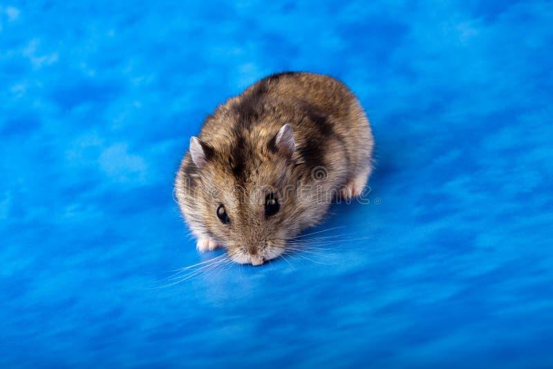 Hamster branco do anão do russo do inverno foto de stock