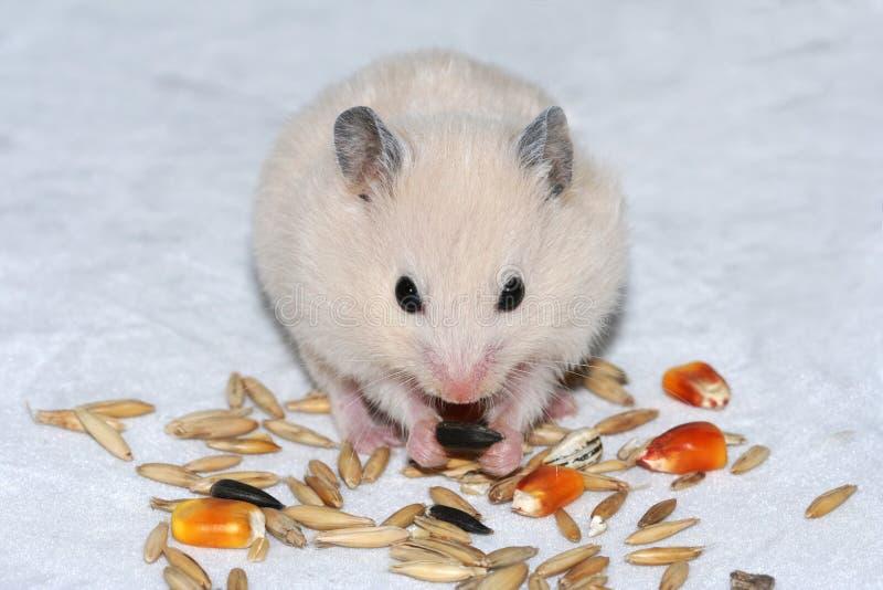 Hamster branco que come a semente fotografia de stock