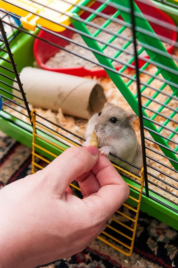 Hamster. In the cage with food royalty free stock photography