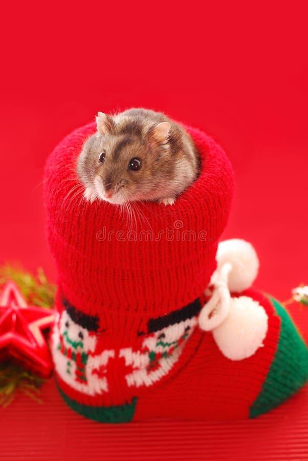 Hamster for christmas stock photography