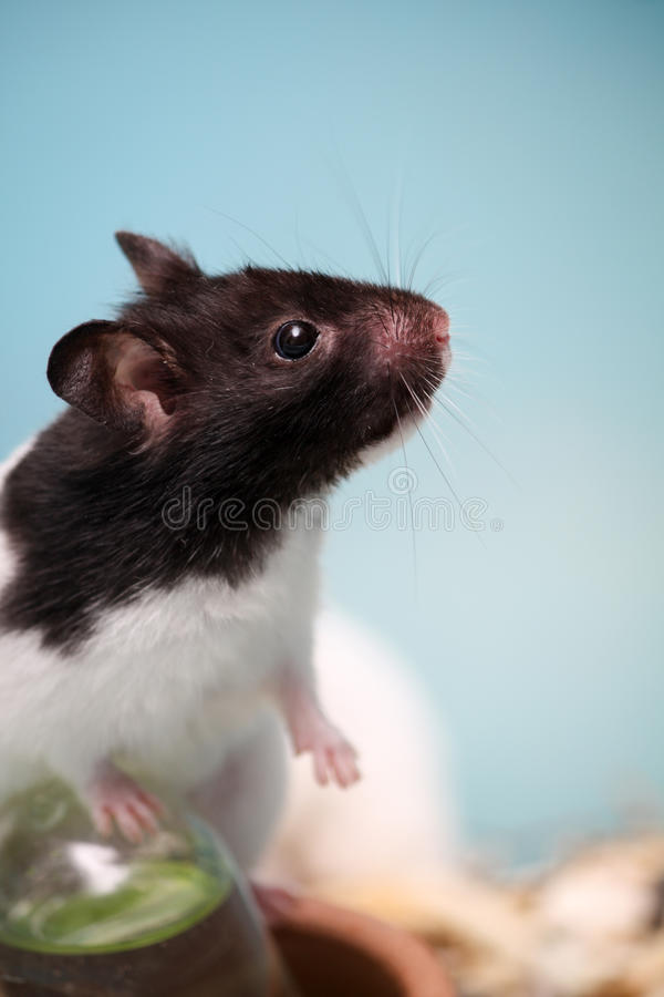 Hamster climb royalty free stock photo