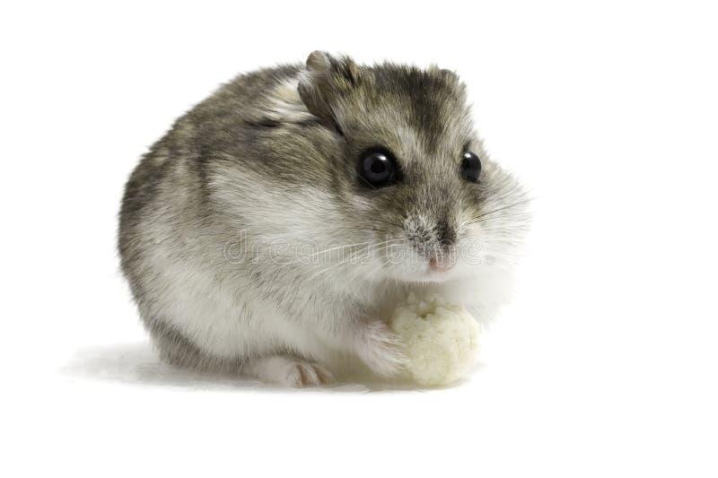 Hamster com pão fotografia de stock