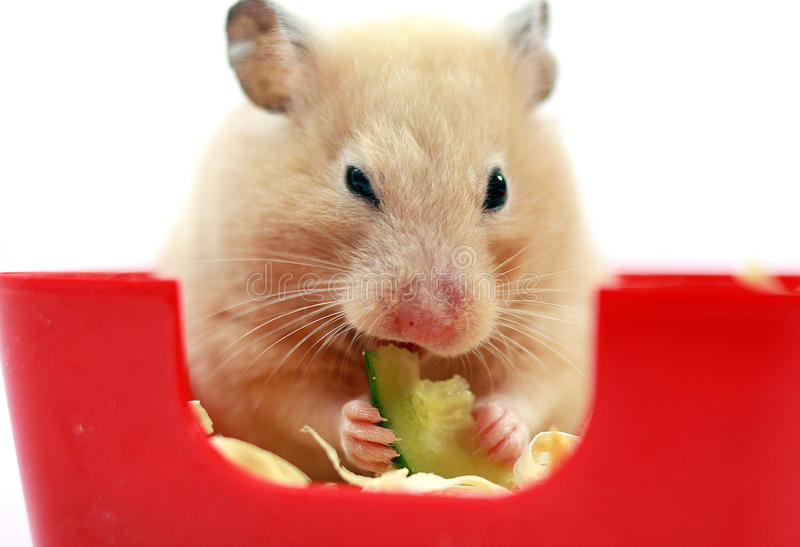 Hamster crème image libre de droits