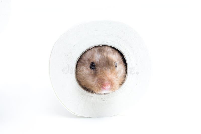 Hamster (Cricetus) em um rolo de toalete fotografia de stock royalty free