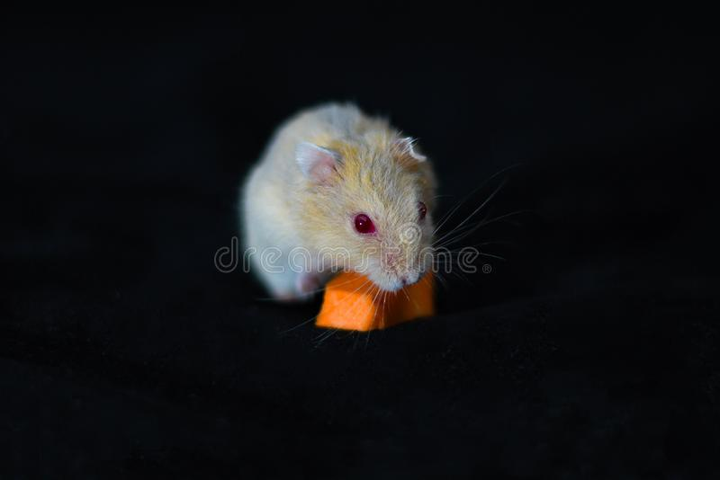 Hamster Cute Exotic Red-eyed eating carrot Isolated on Black Background , Cute funny Syrian hamster , Pet health care.  royalty free stock photo