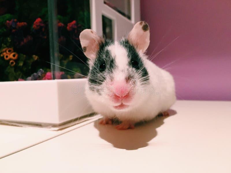 Hamster royalty free stock photos