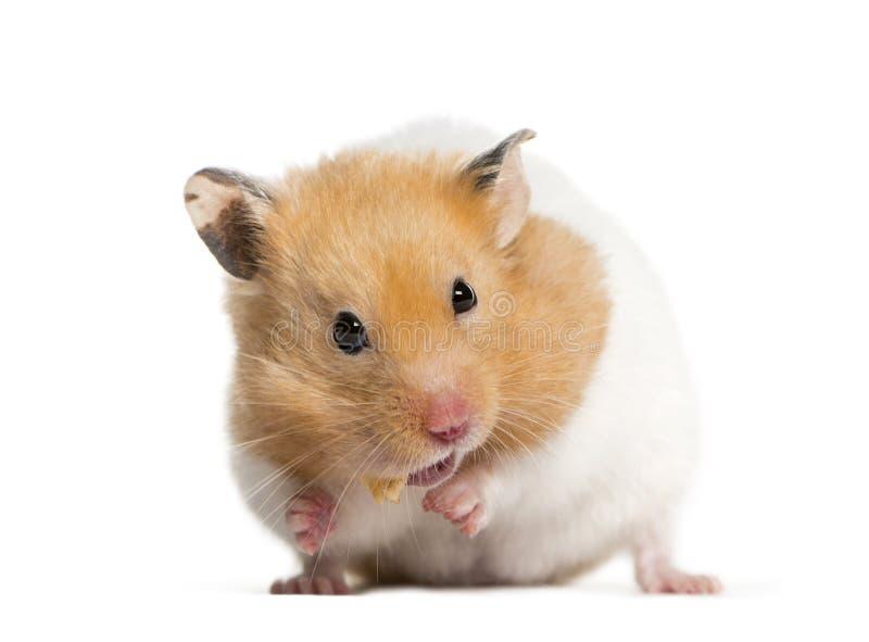 Hamster d'or alimentant devant le fond blanc image libre de droits