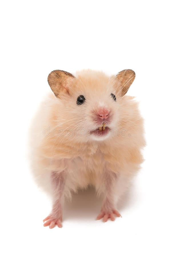 hamster d'isolement photos stock