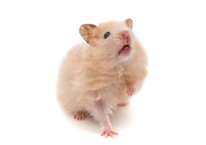 hamster d'isolement photographie stock