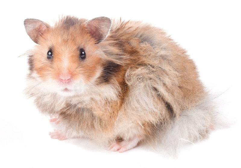 hamster d'isolement image stock