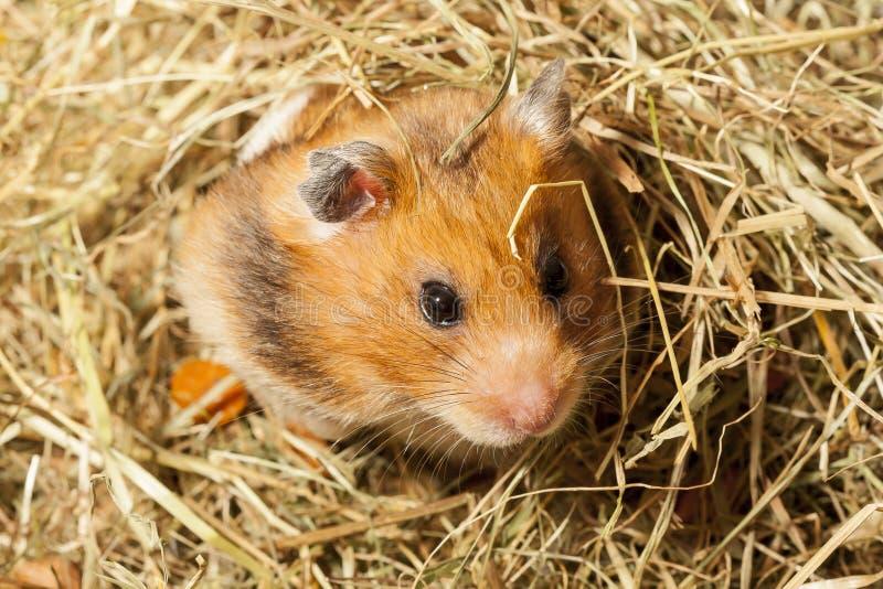 Hamster dans un foin. images stock