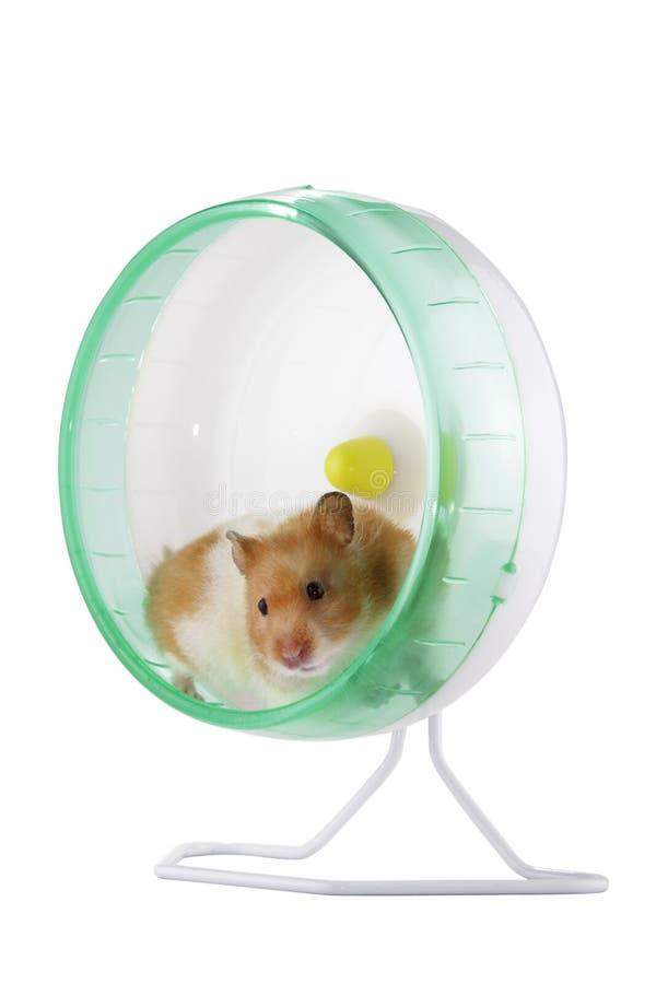 Hamster dans une roue photo libre de droits