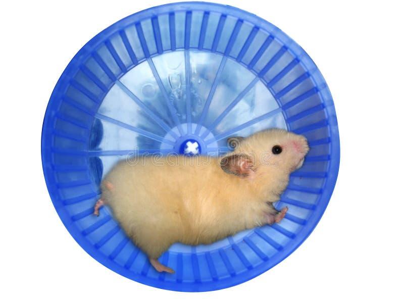Hamster dans une roue images libres de droits