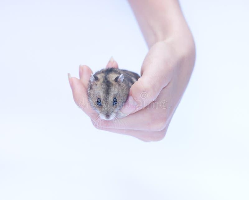 Hamster de assento isolado no branco imagens de stock