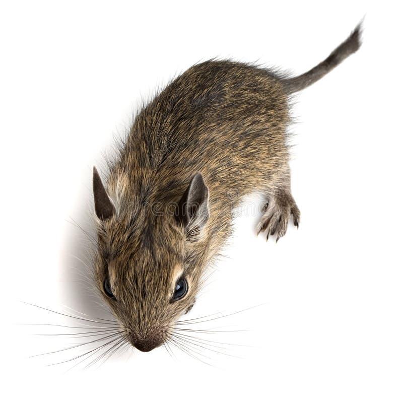 Hamster de bébé images stock